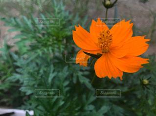 真夏の花の写真・画像素材[1406096]