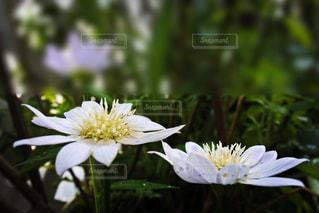 植物の白い花の写真・画像素材[1369376]
