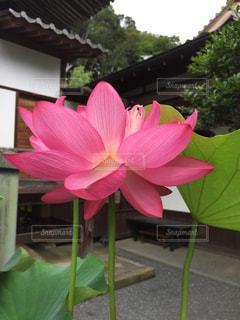 大きな蓮の花の写真・画像素材[1367663]