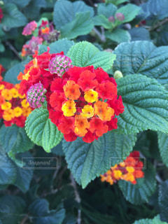 マルタの花の写真・画像素材[1367748]