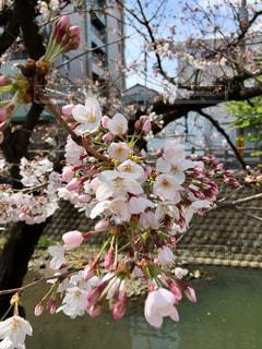 川べりの桜の写真・画像素材[1434020]