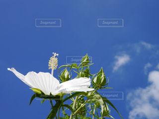 白いハイビスカスと青空の写真・画像素材[1373645]