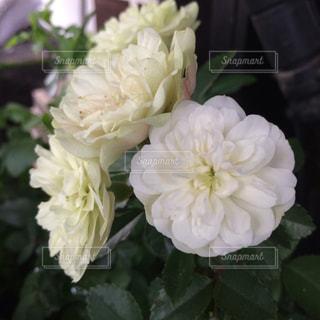 花,白,バラ,白い花,ホワイト,草木,50代,自宅玄関