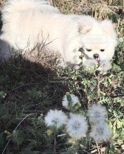 犬,動物,屋外,緑,白,草,ポメペキ