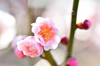 梅の写真・画像素材[1797567]