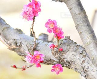 梅の写真・画像素材[1797588]