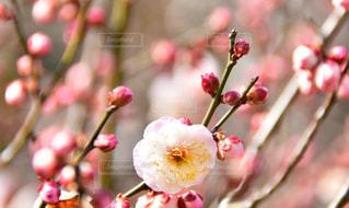 梅の写真・画像素材[1797590]