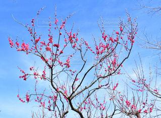 梅の木の写真・画像素材[1797603]