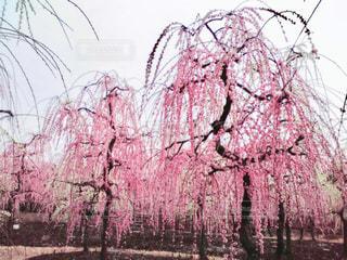 枝垂れ梅の写真・画像素材[1799780]