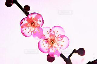 梅の写真・画像素材[1800101]