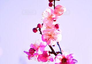 梅の写真・画像素材[1800106]