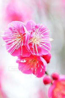 梅の写真・画像素材[1804434]