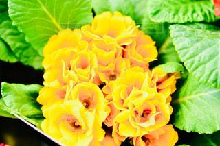 花,緑,葉っぱ,黄色,プリムラ