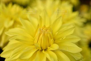 花,黄色,鮮やか
