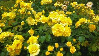 花,緑,葉っぱ,黄色,バラ,鮮やか