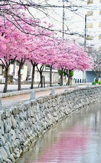 空,桜,木,ピンク,枝,川,水面,小道,満開,岩,河津桜