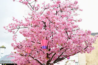空,ピンク,枝,満開,提灯,河津桜