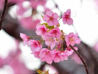 木,ピンク,枝,満開,河津桜
