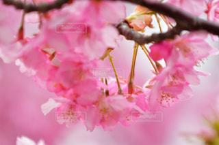 桜の満開の写真・画像素材[1838901]