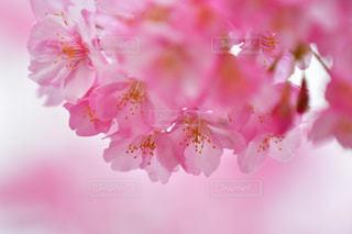 木,ピンク,綺麗,枝,満開,河津桜