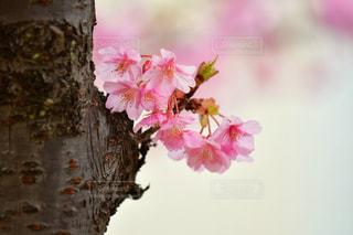 木,ピンク,緑,白,枝,河津桜