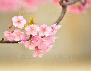 木,ピンク,緑,白,綺麗,枝,河津桜