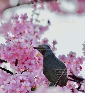木,ピンク,緑,白,綺麗,枝,河津桜,ヒヨドリ