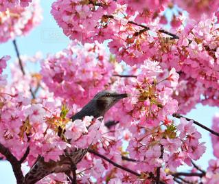 空,木,ピンク,緑,綺麗,枝,河津桜,ヒヨドリ