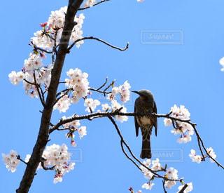 桜と鳥の写真・画像素材[1968613]
