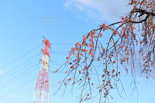 枝垂れ桜の写真・画像素材[1973122]