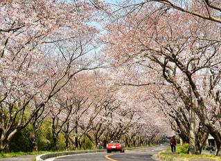 桜街道の写真・画像素材[1974600]