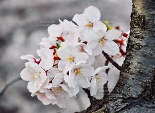 桜の写真・画像素材[1974810]