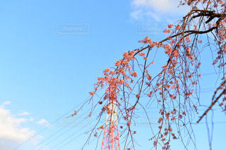 枝垂れ桜の写真・画像素材[1986980]