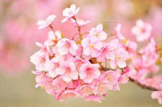 河津桜の写真・画像素材[1997195]