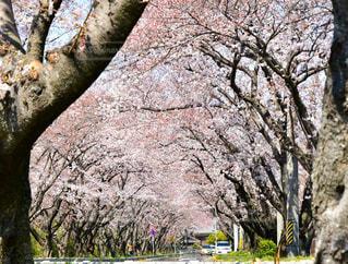 桜街道の写真・画像素材[2004031]