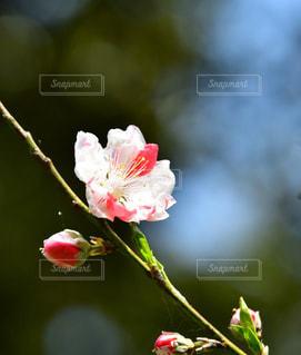 桜の写真・画像素材[2004071]