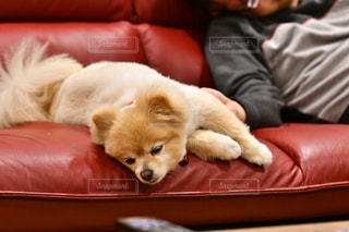 茶色と白の犬が赤い革のソファーに横たわっているの写真・画像素材[2088673]