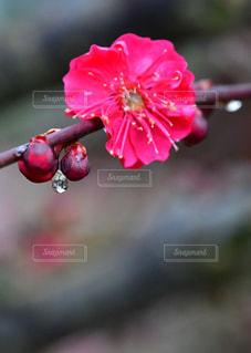 赤,梅,枝,水滴,輝き