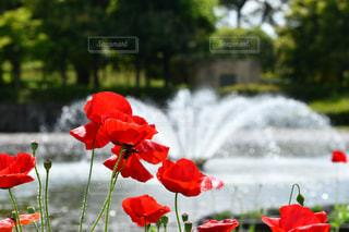 花,緑,赤,水,池,噴水,ポピー