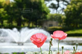 公園,花,緑,赤,池,樹木,噴水,ポピー
