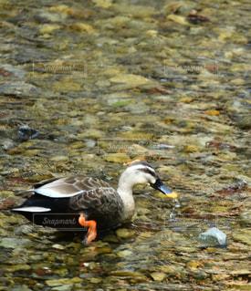 川の流れにいる鳥の写真・画像素材[2130495]