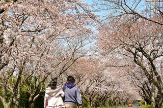 空,桜,ピンク,青,後ろ姿,花見,デート,日