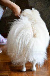 犬,白,足,後ろ姿,ふわふわ,床,バックシャン,細い足,ポメペキ