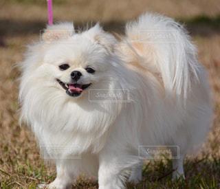 小型犬の写真・画像素材[2280337]