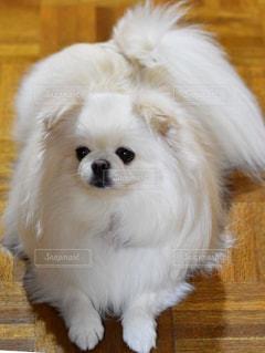 小さな白い犬の写真・画像素材[2280364]