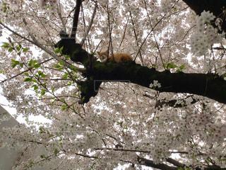 桜の木から見下ろす猫の写真・画像素材[1368702]