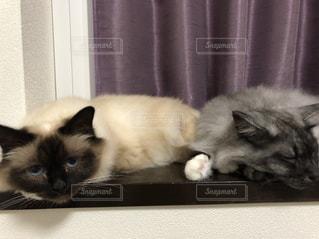 猫,屋内,白,添い寝,なかよし,銀,夏バテ,バーマン