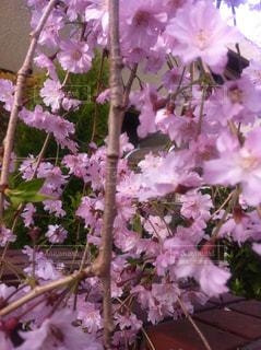 花,桜,草木,枝垂れザクラ