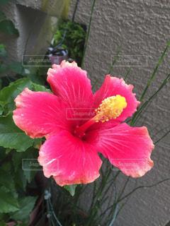 花,ピンク,ハイビスカス,南洋