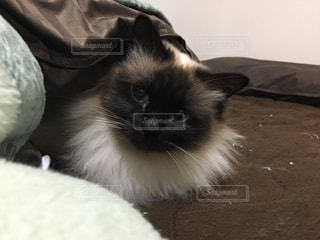 ベッドの上で横になっている猫の写真・画像素材[1442664]